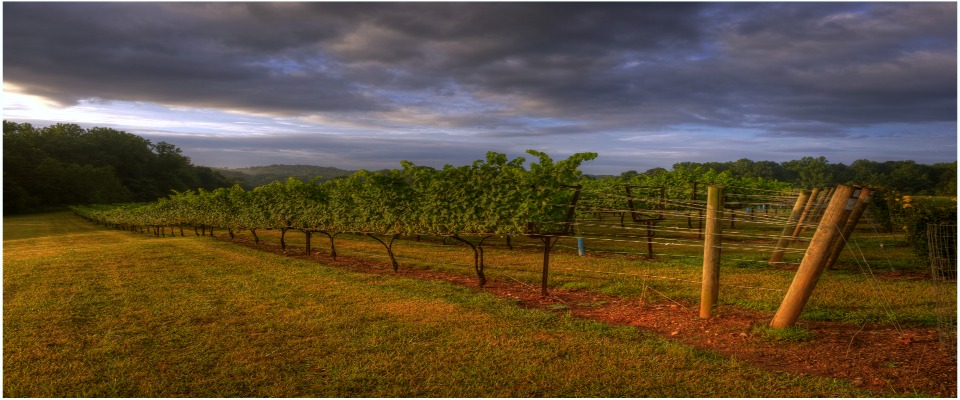 vineyard, yadkin valley, elkin